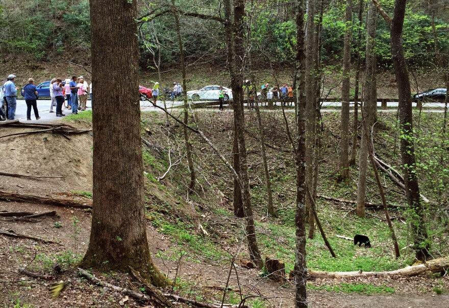A black bear looks for food by a popular road in the park. Minutes later, a park volunteer comes and scares the bear away. She doesn't want the bear to get used to people, and she doesn't want it to find the garbage and scraps that are often by roads.
