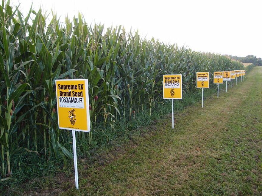 gmo_corn_yellow_springs__ohio.jpg