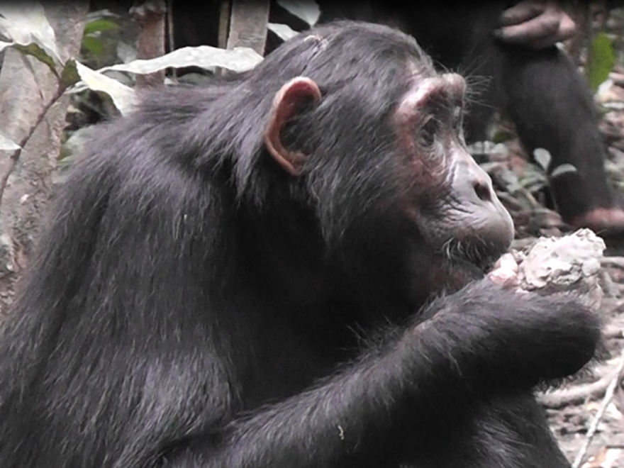 <strong>Mineral supplements, ape-style: </strong>A female chimp called Kana eats clay in the Budongo Forest of Uganda.