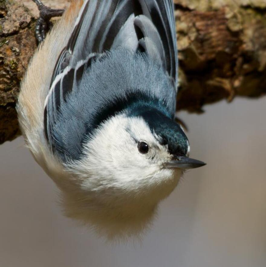 White-breasted_Nuthatch_MattMacGillivray_FlickrCC_1.jpg