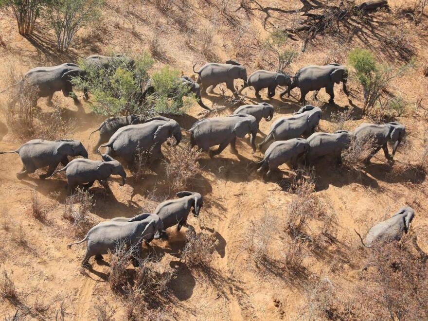 The Great Elephant Census shows that savanna elephant populations in 18 countries declined by 30 percent. Most of the animals counted were in protected areas.