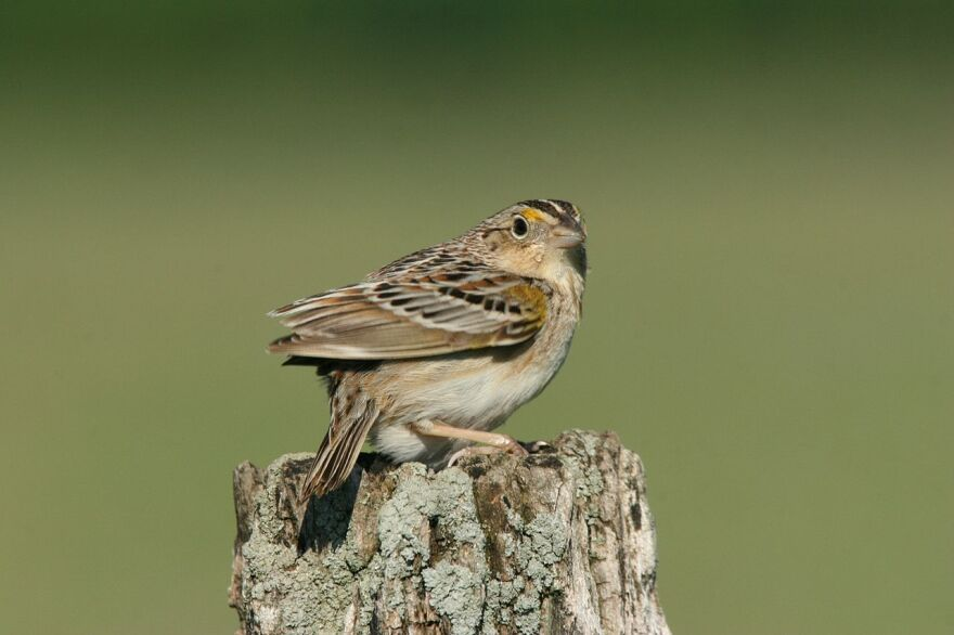 Grasshopper_Sparrow.jpg