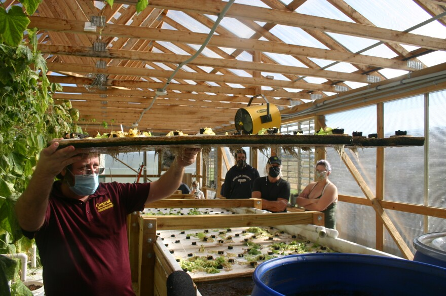 CSU's Marc Amante shows the root system of the hydroponic lettuce growing in the greenhouse. The roots get all the nutrients they need from the fish waste in the water.