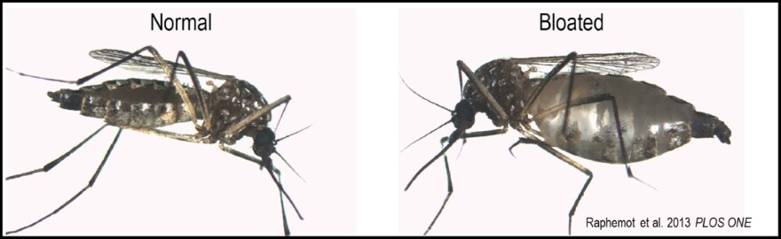 Before and after view of feeding mosquito