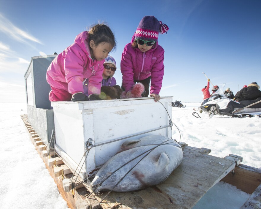 On the back of a traditional sled (called a qamutik) on the sea ice, the Naqitarvik cousins Isabelle, 6, Julie, 4, and Violet, 8, admire a ringed seal caught by a family member. The girls were accompanying their families on a camping trip to ancestral hunting grounds at a place known as Nuvukutaak.