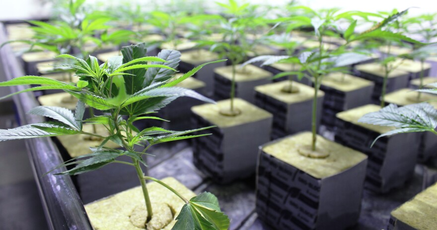 Dozens of cannabis clones grow under high-intensity lights at BeLeaf's growing and processing facility in Earth City, Missouri.