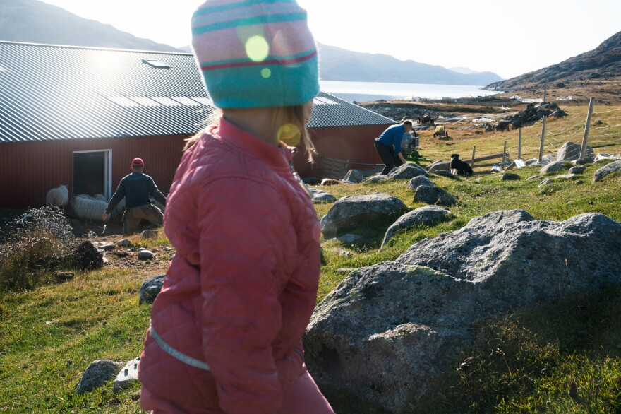 Three-year-old Panu looks on as her father Kunuk (left) and grandfather Lars get the sheep into the barn.