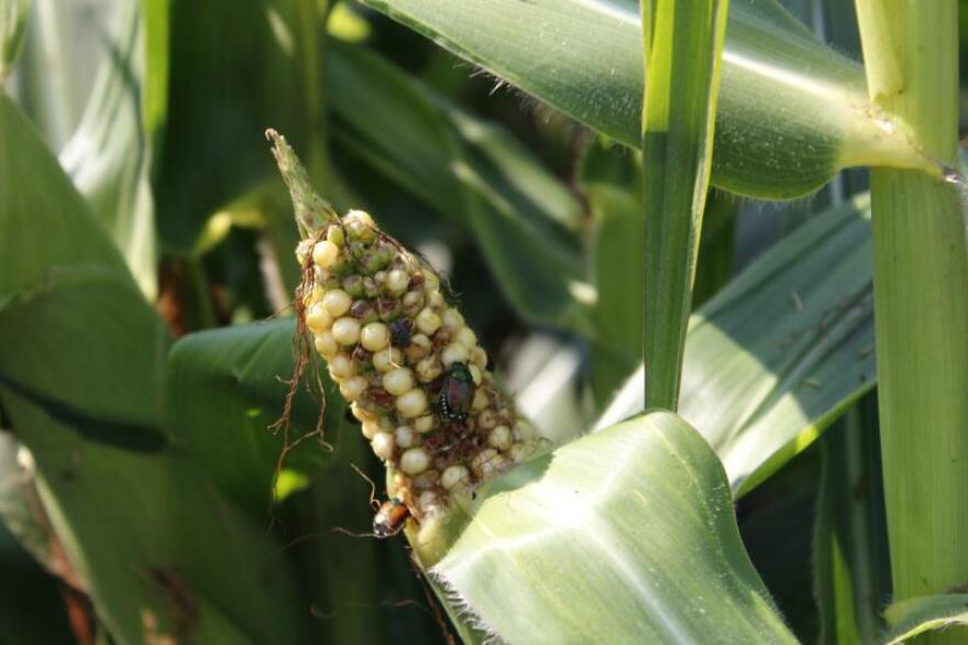 A Japanese beetle munches on an ear of corn in a western Illinois field.