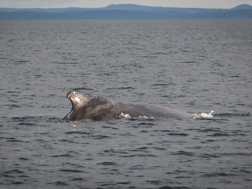 Humpback whales like this one are frequently seen in the Bay of Fundy, but right whale sightings have declined dramatically over the past eight years. The distinct hump in front of the dorsal fin gives humpbacks their name.