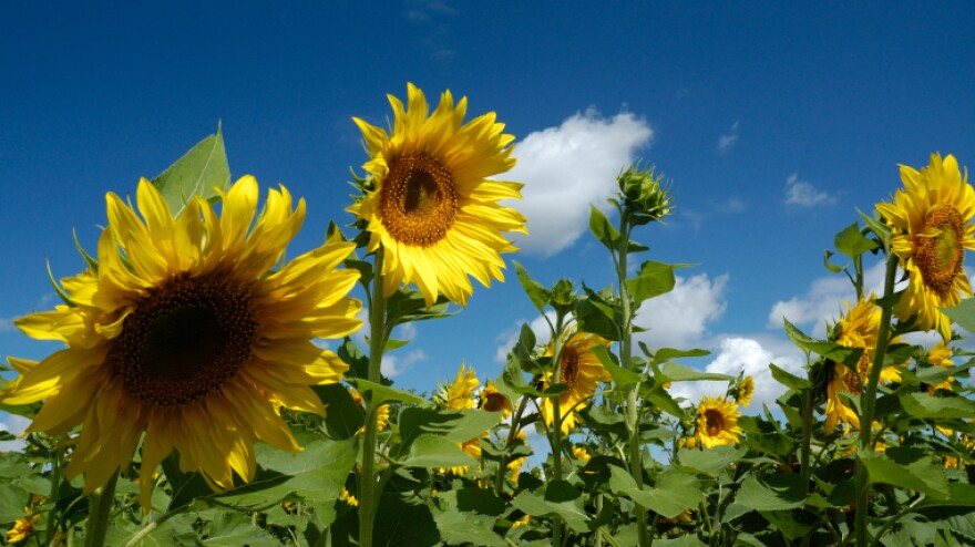 A field of sunflowers in Russia.