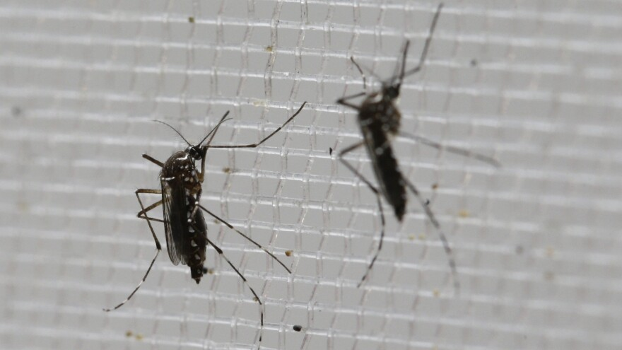 <em>Aedes aegypti</em> mosquitoes like these are known to carry the Zika virus — four cases of which have now been confirmed in American Samoa, according to officials.
