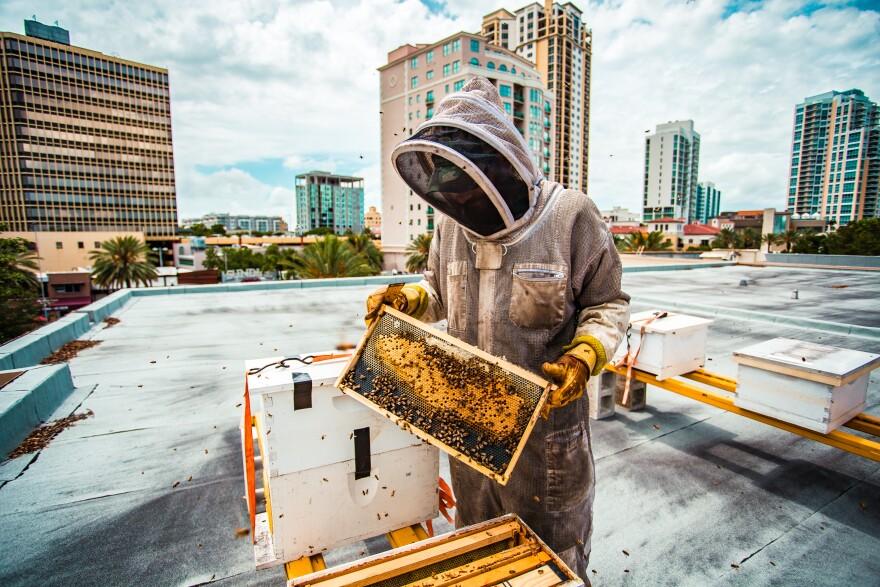 Beekeeper tends to honeybee hives on roof of Museum of Fine Arts in St.Petersburg.