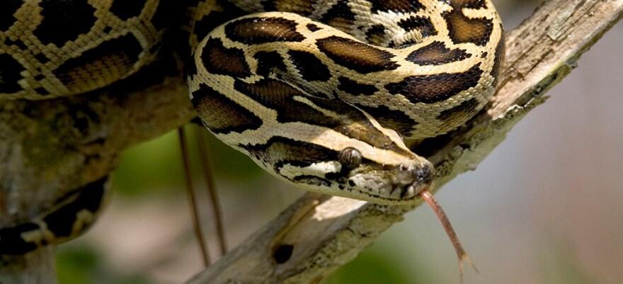 burmesepython_nationalparkservice_080820.jpg