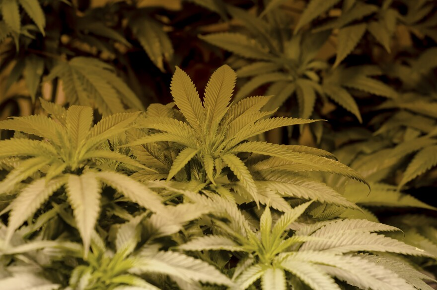 The Department of Health's Low-THC marijuana are going into effect.