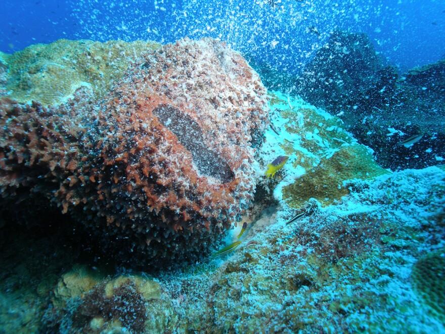 A giant barrel sponge during spawning at Flower Garden Banks National Marine Sanctuary.