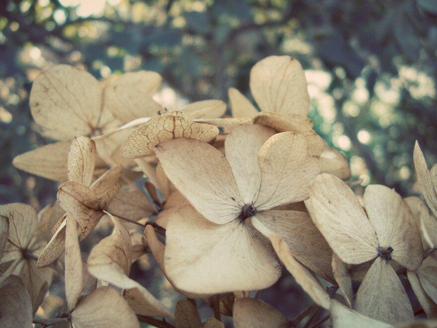 Dried hydrangea