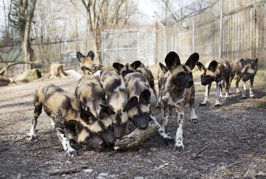 group of African painted dog puppies chew on a piece of wood thrown into their enclosure by a keeper.