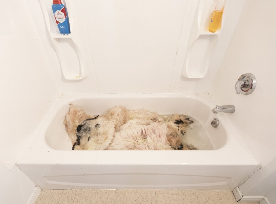 "A freshly washed polar bear skin is cleaned in the family bathtub. Using a lottery system, only a limited number of polar bear-hunting tags are distributed each year. The family eventually sold the skin on the Internet, but the $4,439 profit ""still wasn't enough to pay off a new sofa set and other household items, including food,"" a family member says."