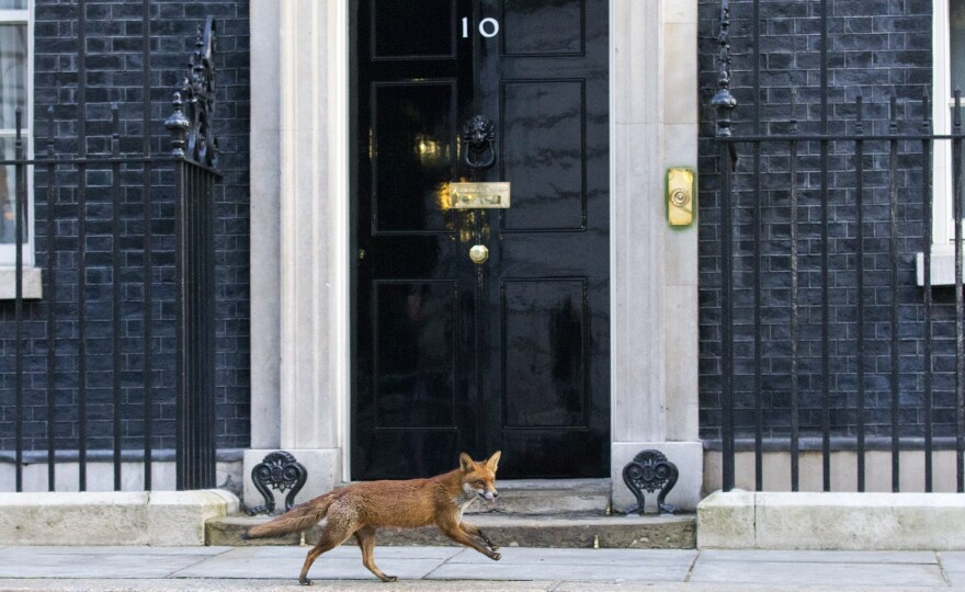 A fox runs past the door of No. 10 Downing St. in London on Monday.