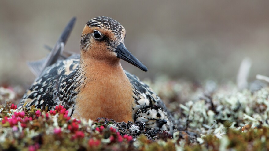 """The State of the Birds"" 2014 report found that red knots (above) and other shorebirds are among the most threatened groups in the U.S. More than half of U.S. shorebird species are on the report's Watch List — species that are currently endangered or at risk."
