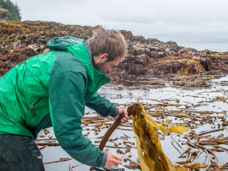 Matt Kern harvests wild bull kelp for salsa that he and his partner, Lisa Heifetz, are selling as part of his new business.