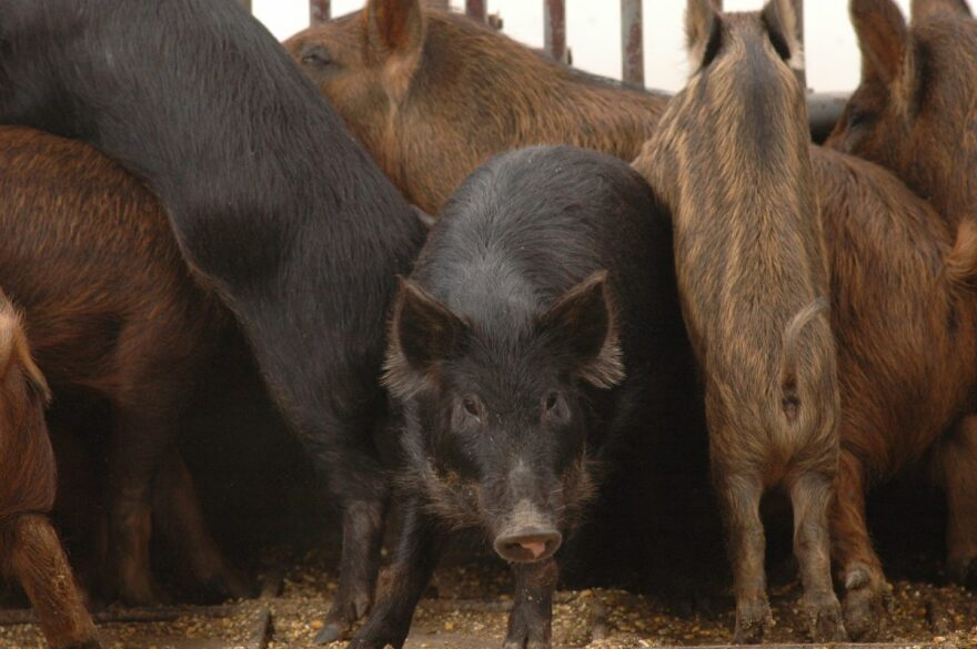 East Texas feral hogs after they've been trapped and transferred to a trailer.