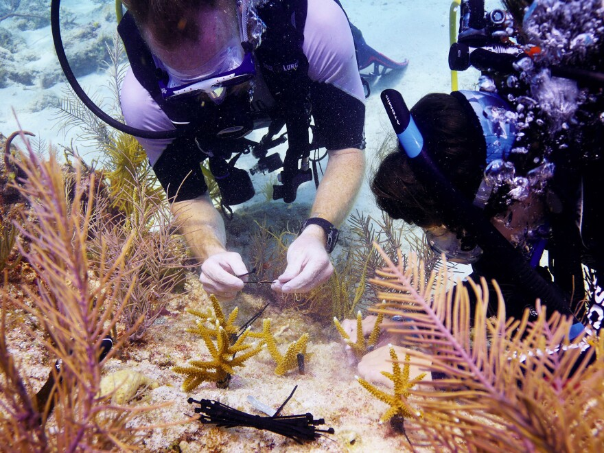 Jessica Silk and Billy Costello join Mote Marine Laboratory scientists planting staghorn coral on a depleted reef off Big Pine Key in the Florida Keys. The lab is growing and transplanting some 70,000 fragments.