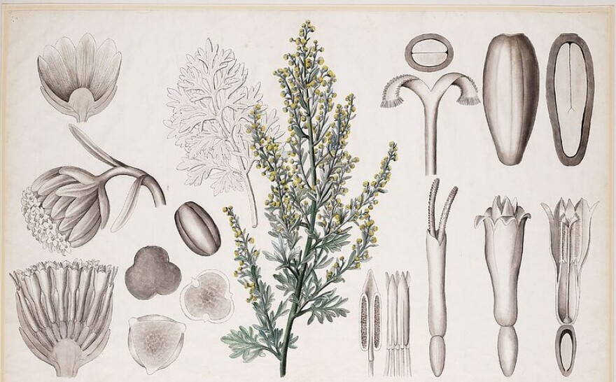 Illustration of the wormwood plant and its various parts