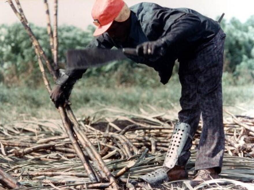 Mn with machete cutting sugar cane.
