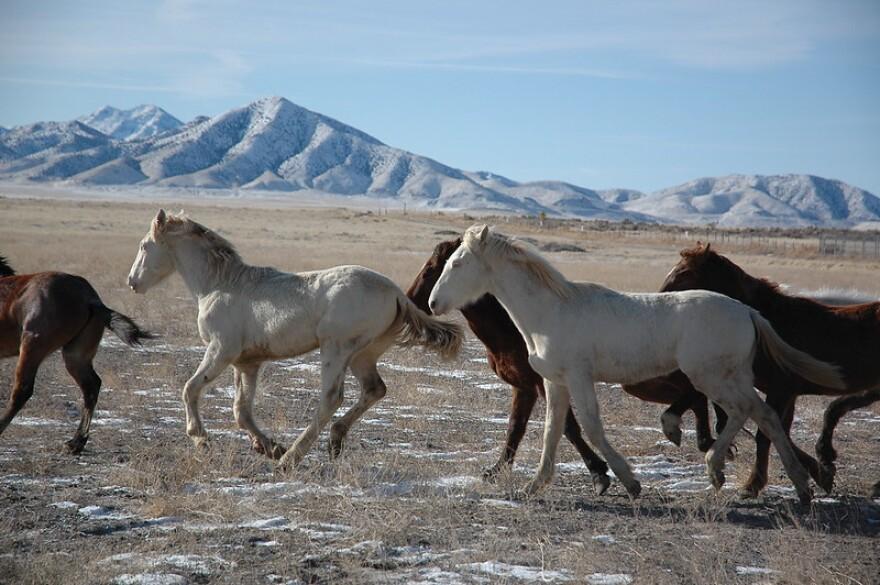 Photo of wild horses.