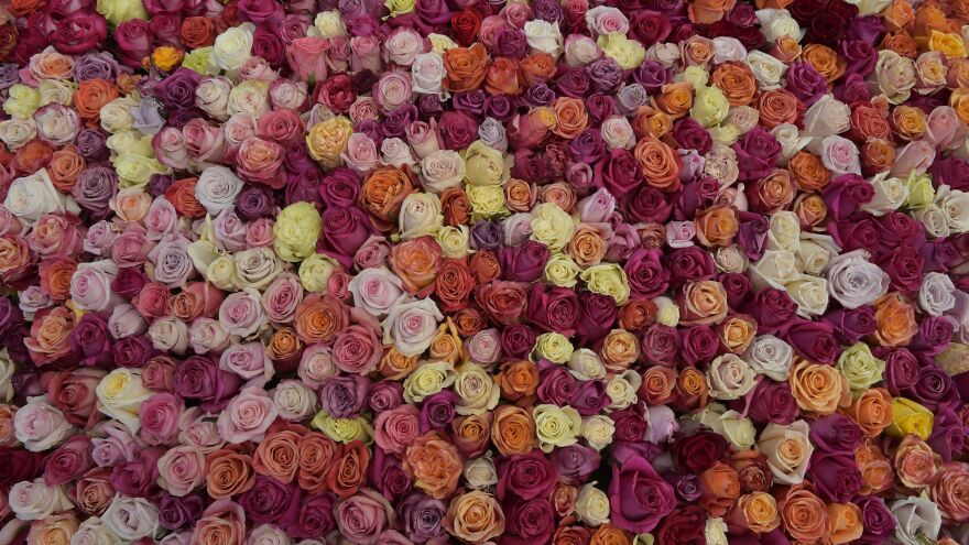 Half a million roses were placed in a replica of a pyramid located in Ecuador's Cochasqui archaeological park.