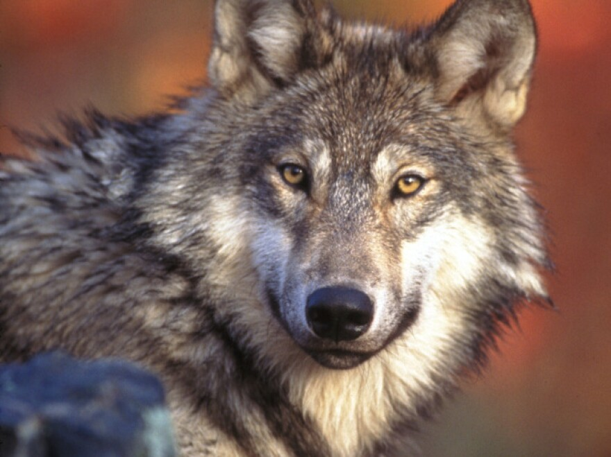 The proposed budget would take gray wolves in the northwest off the list of endangered species.