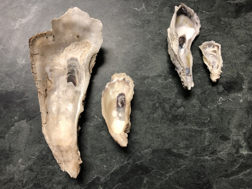 Four colossal oyster shells laid out on a table to show size difference.