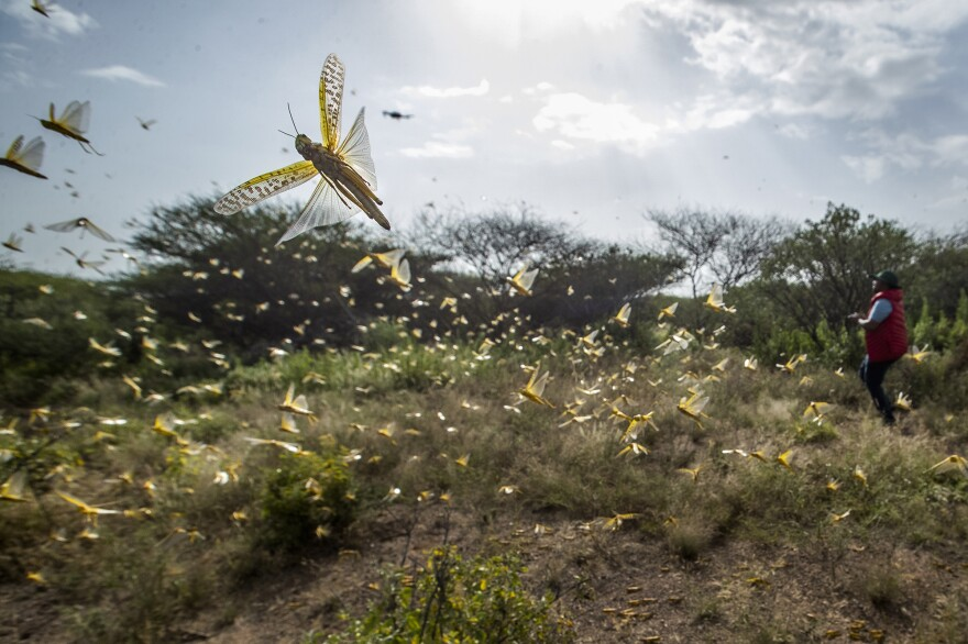 As locusts by the billions descend on parts of Kenya in the worst outbreak in 70 years, small planes are flying low over affected areas to spray pesticides in what experts call the only effective control.