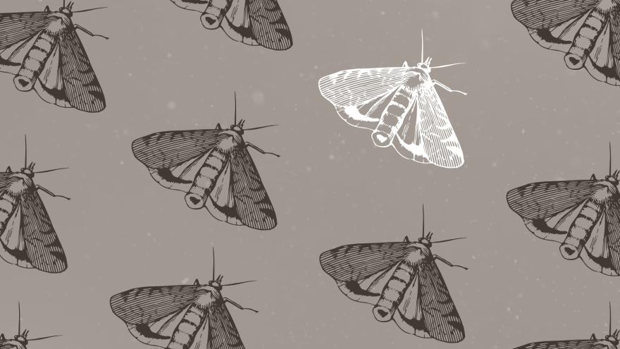 miller_moth_illustration.png