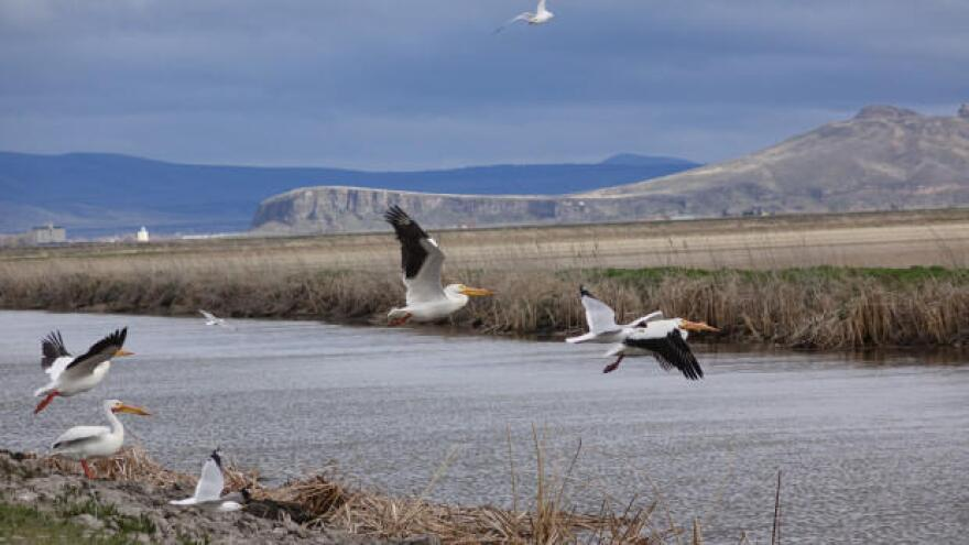 white_pelicans_klamath.jpg
