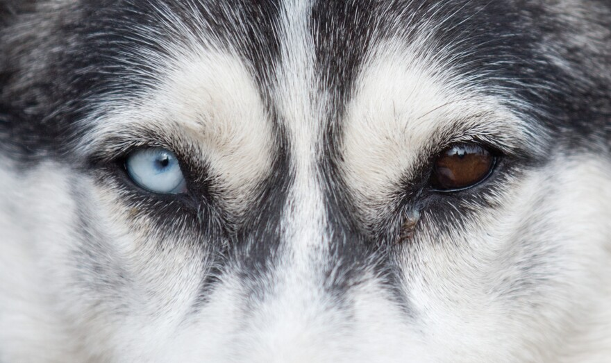 A husky with one blue and one brown eye waits for the first sledge dog race of the 2012 season in Eastern Germany.