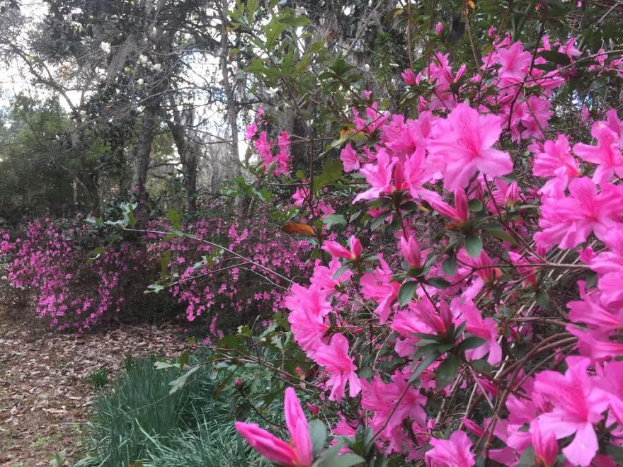 azaleas; Maclay Gardens