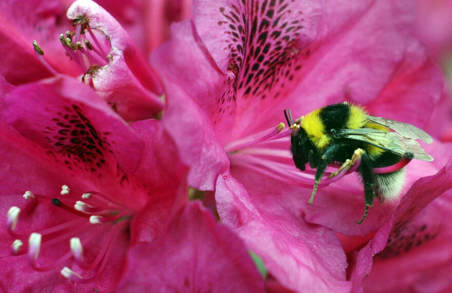 A bumblebee collects pollen from a flower. New evidence suggests climate change has left bumblebees with a shrinking range of places to live.