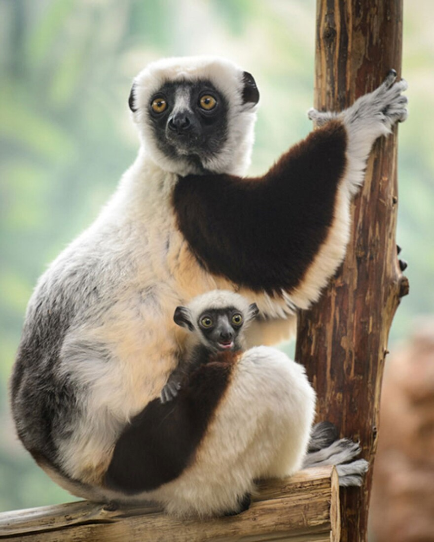 Mother and baby sifaka lemurs.