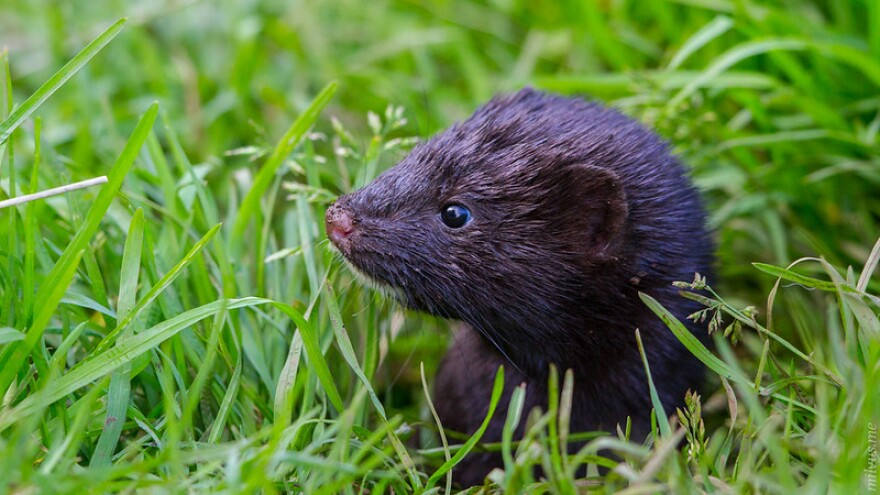 A photo of an American mink in grass.