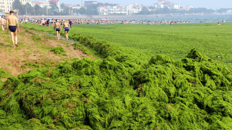 Chinese beachgoers walk by an algae-covered public beach in Qingdao, China, in July. The seas off China have been hit by their largest-ever growth of algae, ocean officials say, with waves of green growth washing onto the shores.