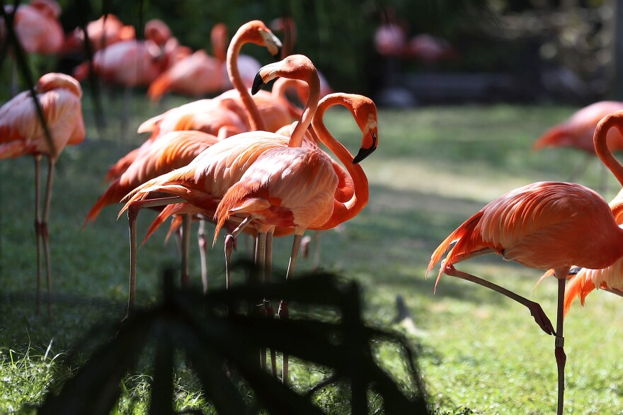 Flamingos at Jungle Island, a zoological theme park, in Miami in 2017. The long-legged pink birds were once common in Florida. But their striking feathers were prized decorations for ladies' hats, and they were thought to have been hunted out of existence for the plume trade in the 1800s.