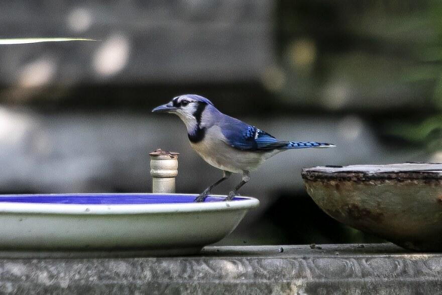 Una chara azul se posa en una fuente para pájaros en el barrio Cherrywood de Austin.
