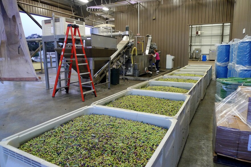 The Yocha Dehe tribe grows, mills and markets its own extra-virgin olive oil. The tribe's mill uses top-of-the-line equipment imported from Florence, Italy.