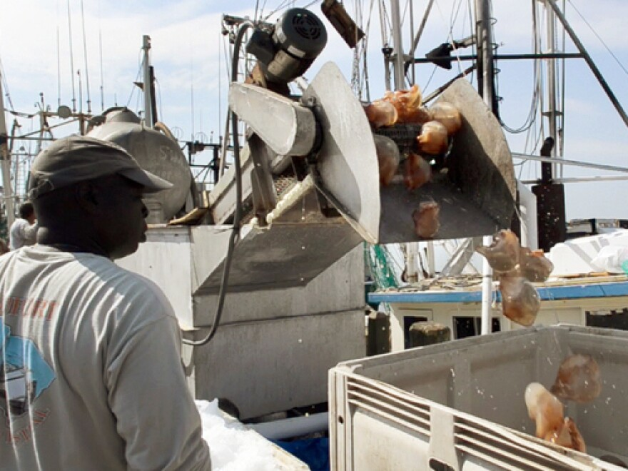 A fishermen unloads cannonball jellyfish to take to market in Port Royal, S.C.