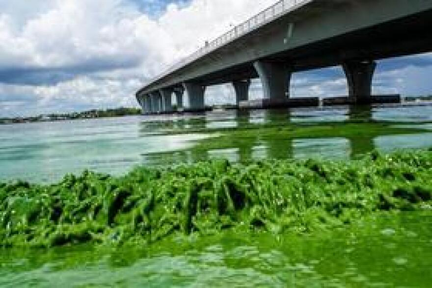 Water full of algae laps along the Sewell's Point shore on the St. Lucie River under an Ocean Boulevard bridge earlier this week.