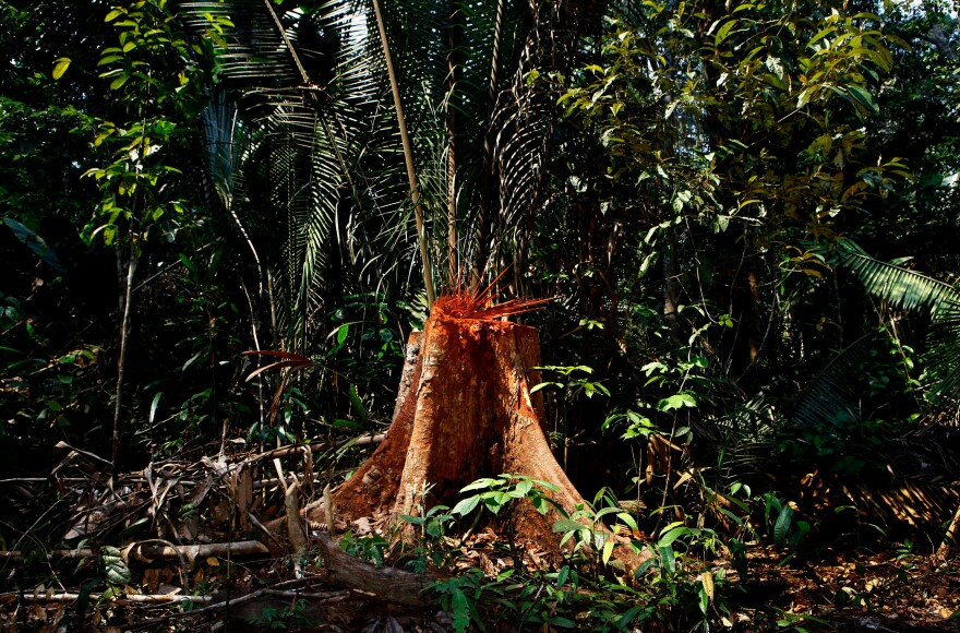 An illegally chopped down tree in Machadinho d'Oeste in the western Brazilian state of Rondonia.