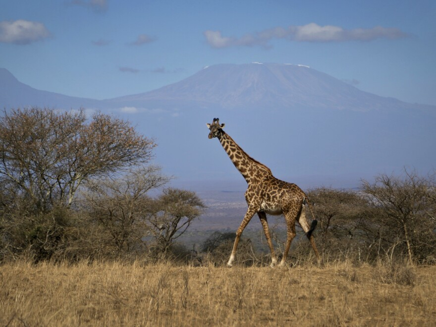 A giraffe in Kenya's Amboseli National Park in August.