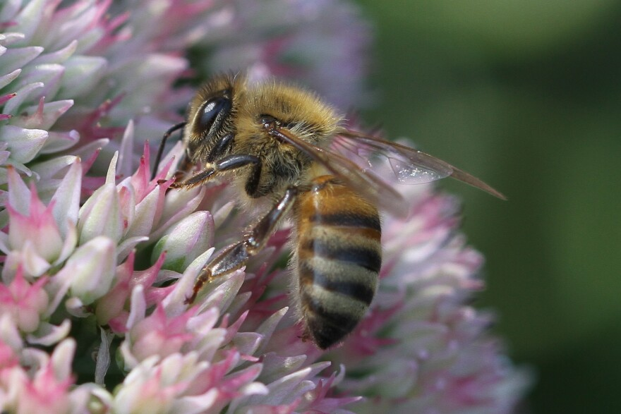 Minnesota's governor has ordered new restrictions on the use of neonicotinoid pesticides, which have been blamed for killing bees. Many details of the plan, however, remain to be worked out